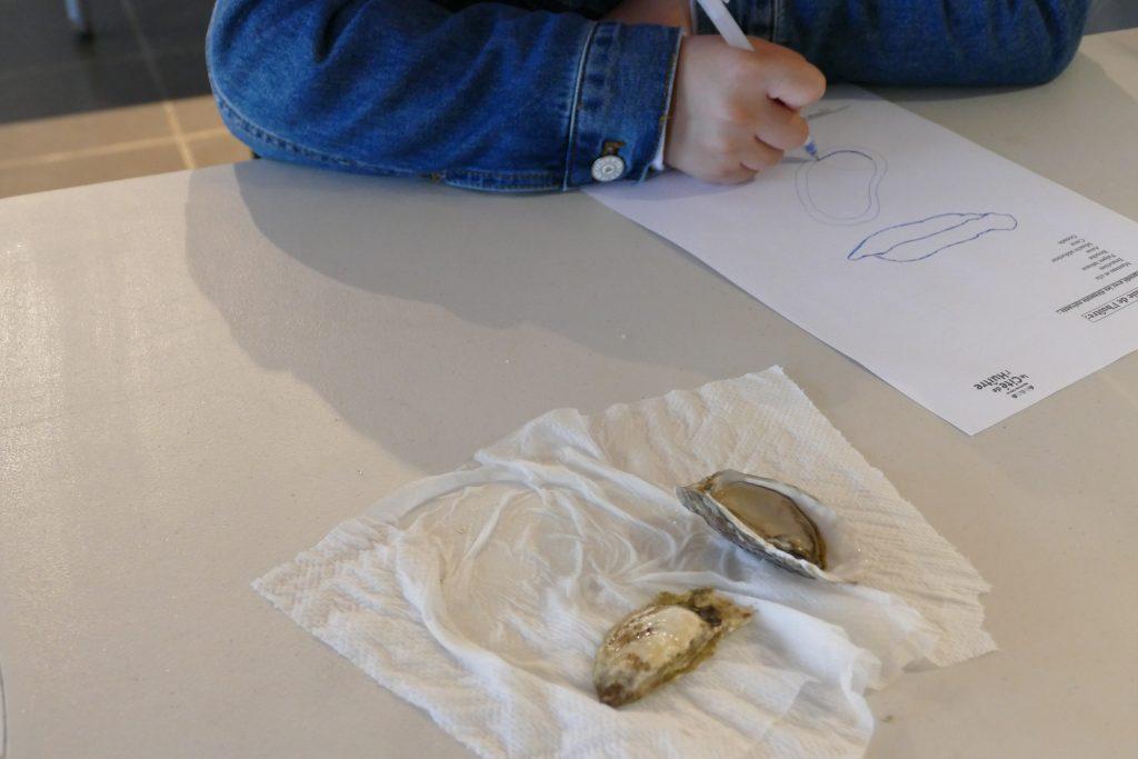 Anatomie de l'huître